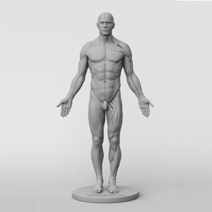 Male Anatomy Figure by 3dtotal